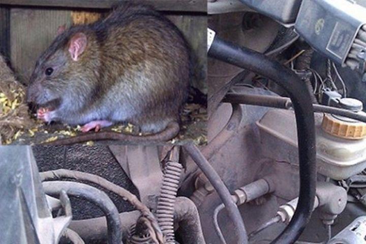 Biện pháp chống chuột đột nhập xế hộp